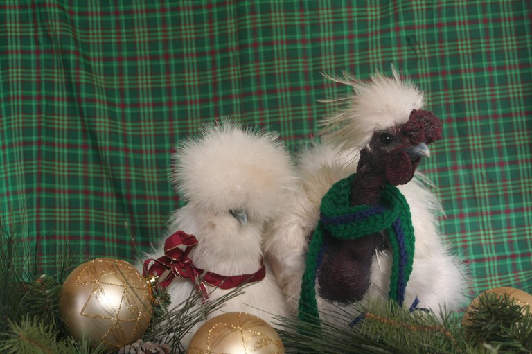 christmas chickens